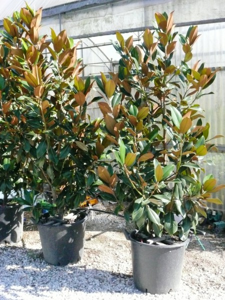 Vivai piante fratelli andreini a pistoia toscana italia for Magnolia pianta prezzi