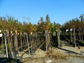 Vivai piante fratelli andreini a pistoia toscana italia for Piante da frutto nord italia